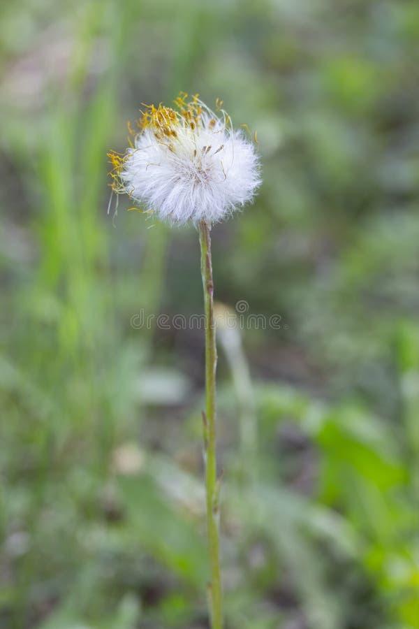 Foalfoot мать-и-мачеха цветка пушистое с остатками желтых сухих лепестков стоит одним над предыдущей травой весны стоковая фотография rf