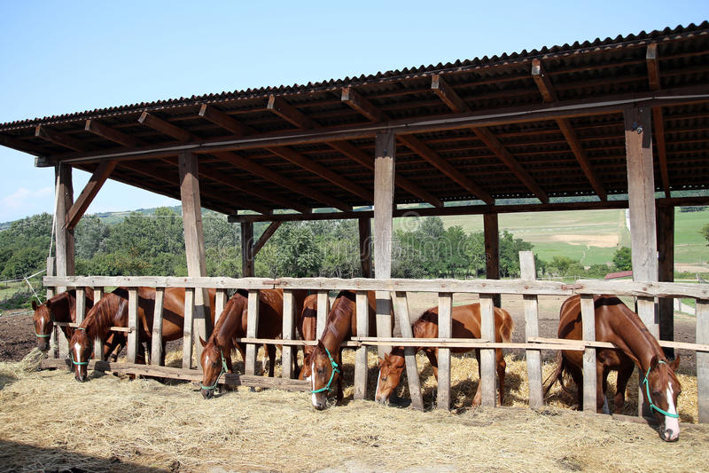 Foals και οι φοράδες τρώνε το σανό το καλοκαίρι συγκεντρώνουν στοκ εικόνες