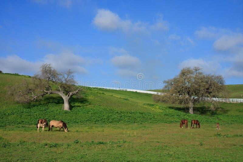 foals della campagna che pascono il pascolo delle cavalle immagini stock