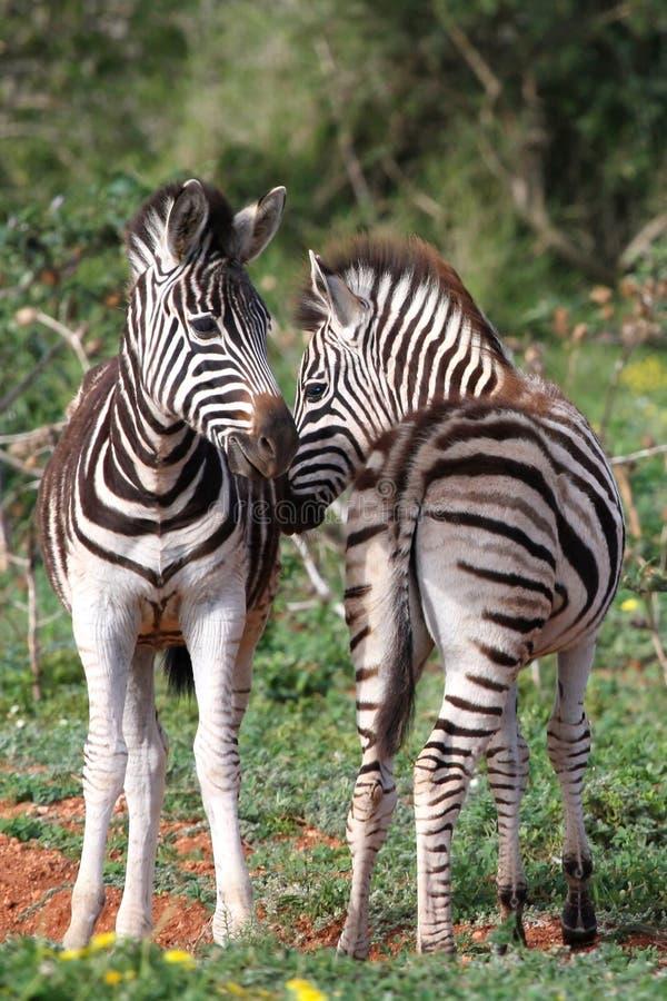 Download Foals della zebra fotografia stock. Immagine di esterno - 21550224