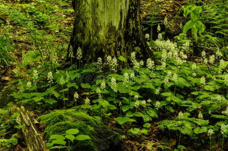 Foamflower in Bloei het Groeien in de Adirondack-Bergen van Nieuw Y stock afbeeldingen