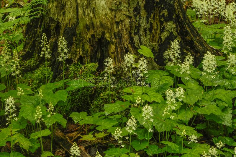 Foamflower, Tiarella Cordifolia, in fioritura che cresce nel Adirond fotografie stock libere da diritti