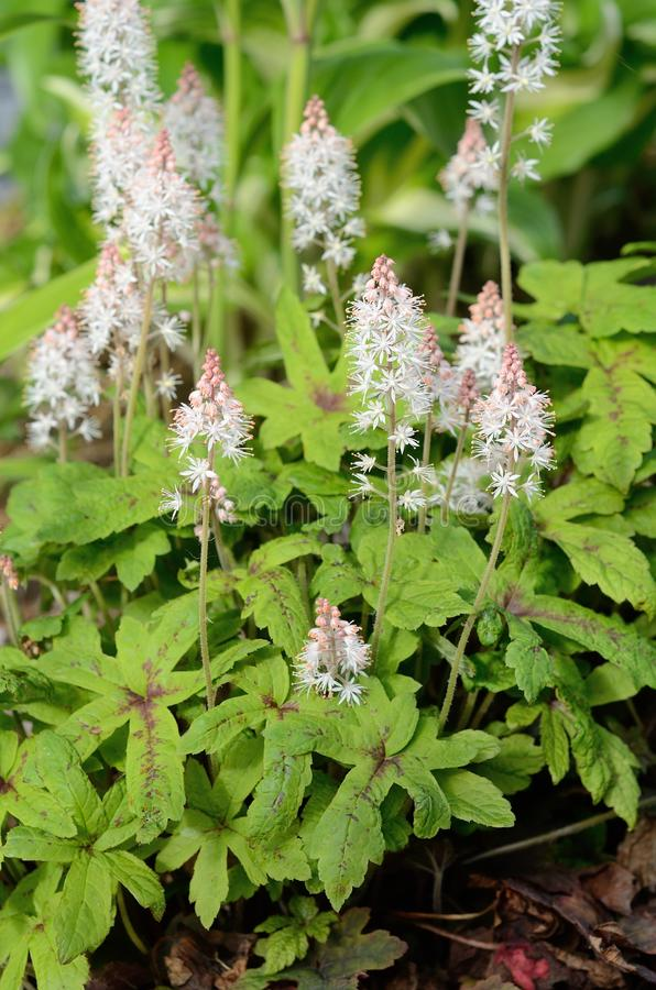 Foamflower (Tiarella) in fioritura immagine stock