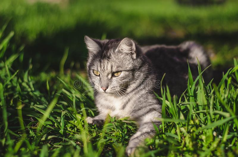 Focal Focus Photography of Silver Tabby Cat Lying on Green Grass Field royalty free stock images