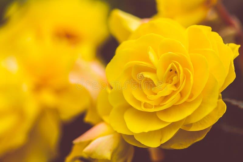 Focalize em flores cor-de-rosa no amarelo escuro matt da matiz foto de stock