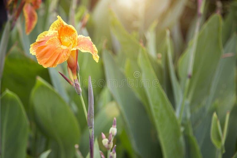 Focalize a flor amarela do canna no jardim na luz da manhã imagens de stock royalty free