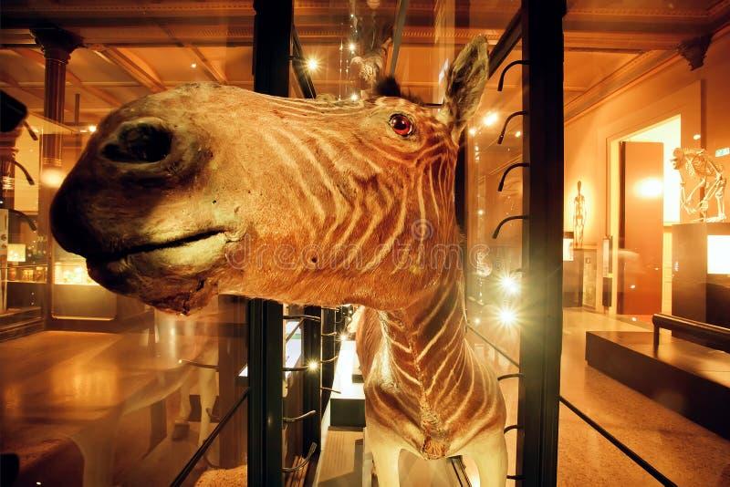 Focinho da zebra dentro do salão de Naturkundemuseum fotos de stock