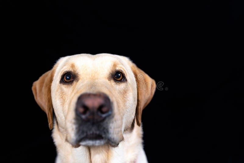 Focinho de labrador retriever no fundo preto fotografia de stock royalty free
