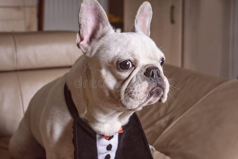 Focinho de um fim branco do buldogue acima, opinião do close-up o cachorrinho adorável do buldogue francês imagens de stock