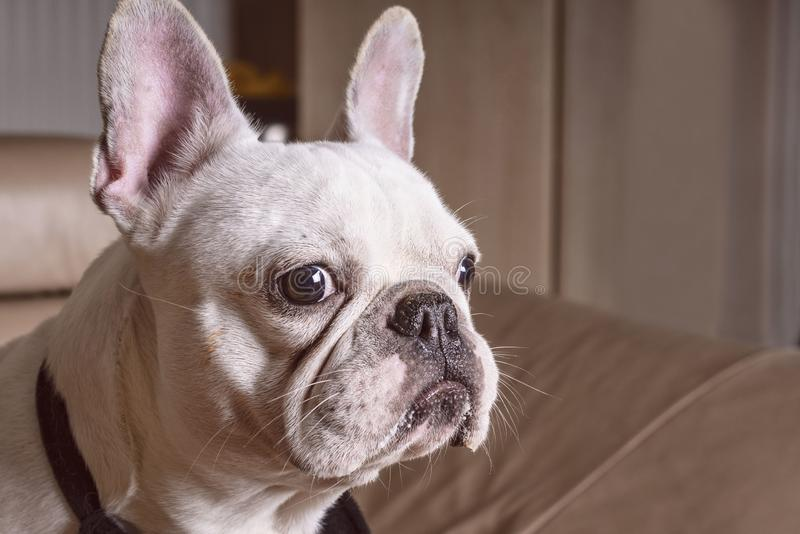 Focinho de um fim branco do buldogue acima, opini?o do close-up o cachorrinho ador?vel do buldogue franc?s fotografia de stock
