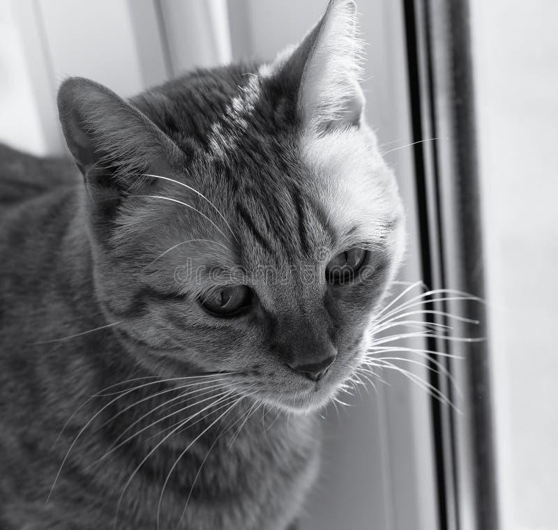 Focinho de um fim do gato acima Gato vermelho Imagem preto e branco foto de stock royalty free