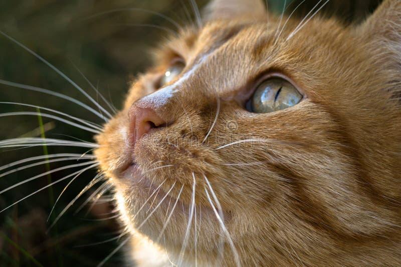 focinho pequeno bonito de um gato vermelho da ninhada que sonhe sobre algo imagem de stock