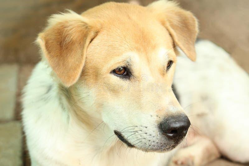 Focinho principal ascendente próximo do cão tailandês novo bonito exterior imagens de stock