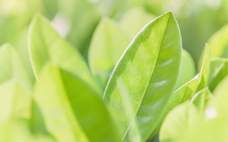 Foco ascendente e macio do fim das folhas verdes Fundo verde da natureza imagens de stock
