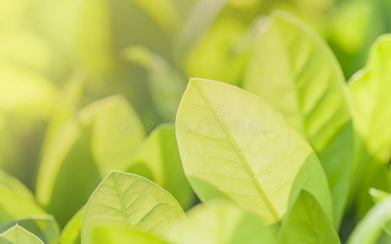 Foco ascendente e macio do fim das folhas verdes Fundo verde da natureza foto de stock