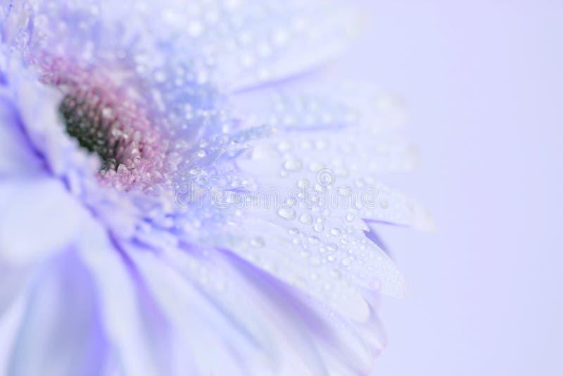 Foco ascendente e seletivo do fim da flor azul doce do Gerbera com foto de stock