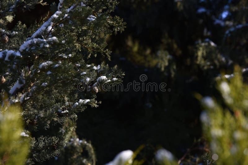 Download Foco Curto Da árvore De Cypress Foto de Stock - Imagem de abeto, feriado: 65576544