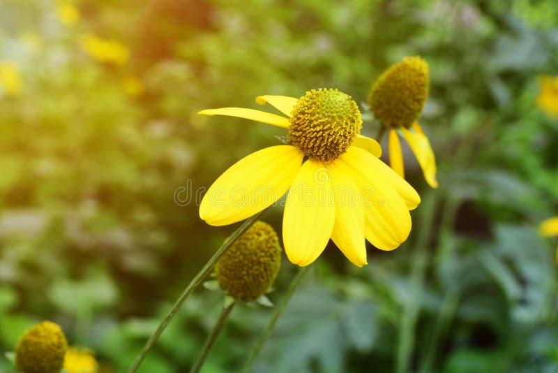Foco de flores amarelas com pólen imagens de stock royalty free
