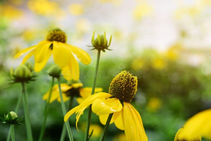 Foco de flores amarelas com pólen imagem de stock