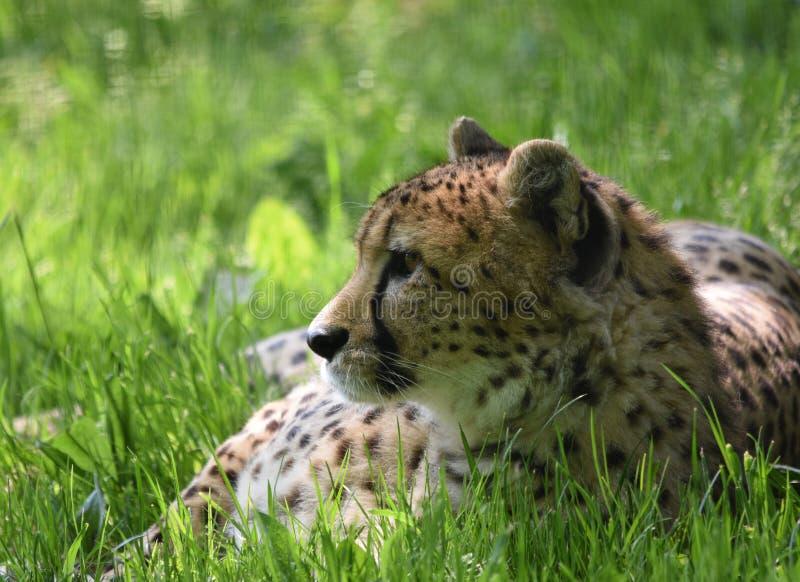Foco de la cabeza y de la cara del guepardo en hierba imagenes de archivo