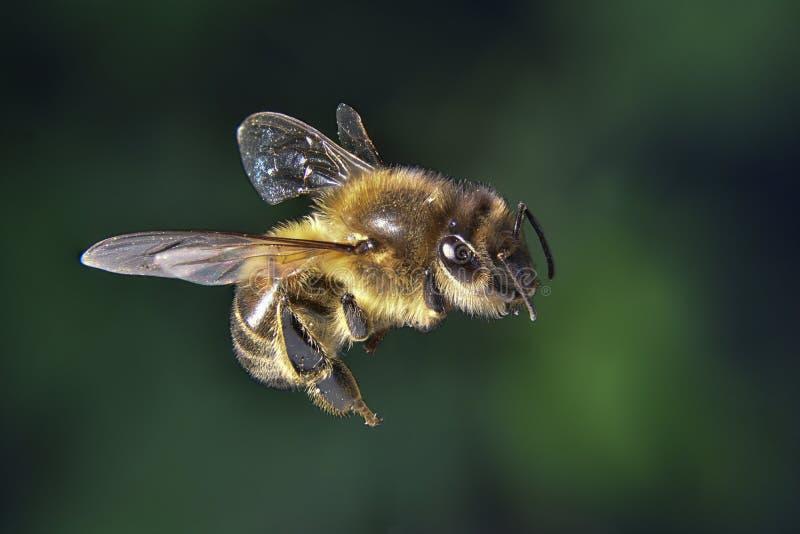 Foco del claro de la abeja de la miel apilado imagen de archivo