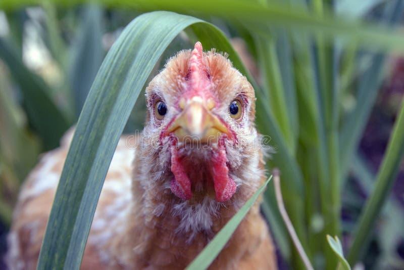 Foco do close-up da galinha de grelha nos olhos, espreitando fora da grama imagem de stock royalty free