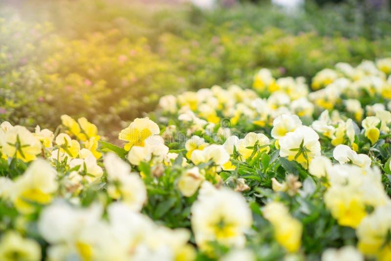 Foco en una flor amarilla de la maravilla imagenes de archivo