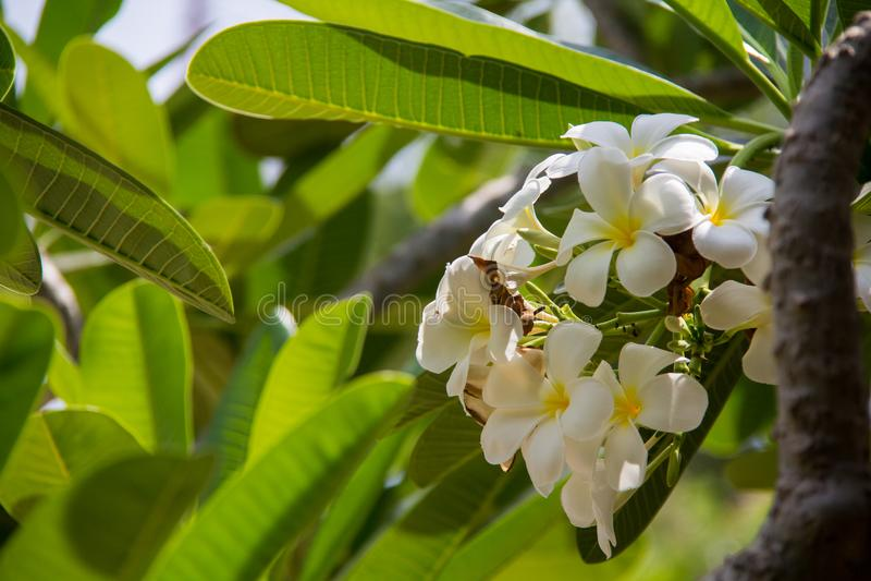 Foco macio abstrato da flor do Frangipani imagens de stock royalty free