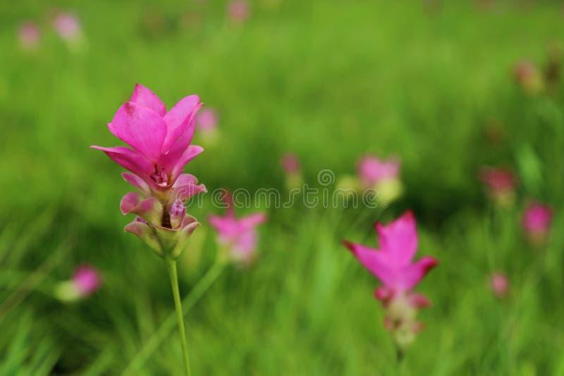 Foco macio da flor cor-de-rosa tropical bonita da tulipa de Sião (tulipa ou curcuma do verão) no fundo verde do prado fotografia de stock