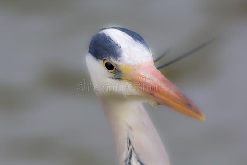 Foco macio da imagem do foco de Grey Heron no olho fotos de stock