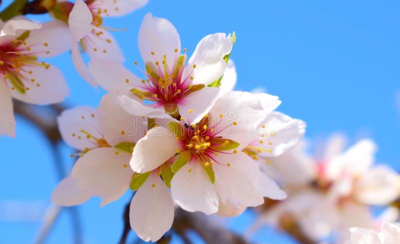 Foco macio do fundo da flor da amêndoa borrão Foco seletivo a imagem de stock