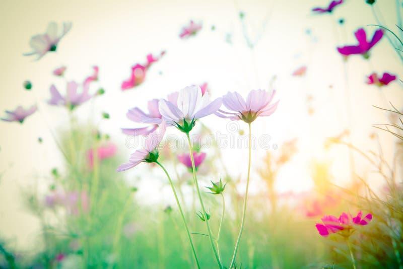 Foco macio e flor borrada do cosmos fotos de stock royalty free