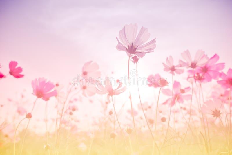 Foco macio e flores borradas do cosmos fotos de stock