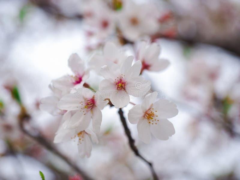 Foco macio seletivo da flor de cerejeira ou da flor branca de Sakura sobre no fundo difundido fotos de stock