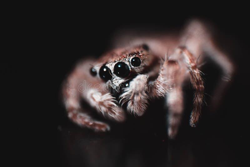 Foco macro da fotografia da aranha da casa nos olhos foto de stock royalty free
