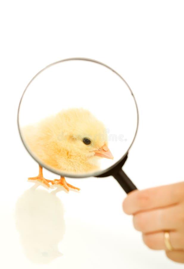 Foco na galinha de easter - isolada imagem de stock