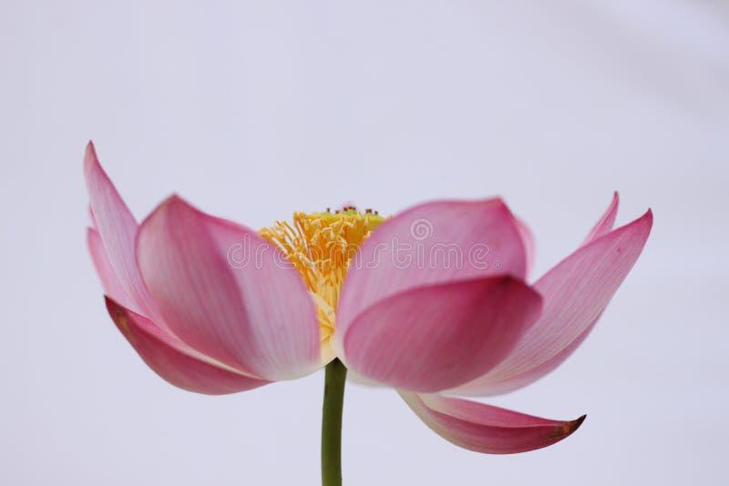 Foco no centro de Lotus imagem de stock