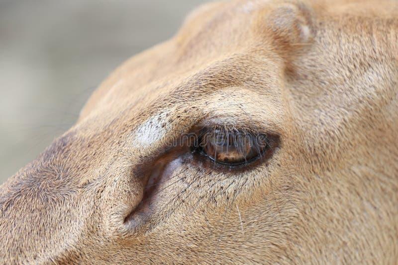 Foco no olho dos cervos imagens de stock