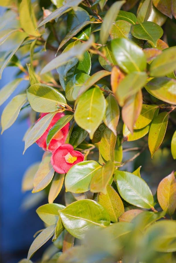 Foco profundo bajo de Camellia Japonica foto de archivo libre de regalías