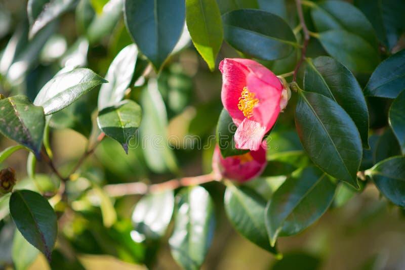 Foco profundo bajo de Camellia Japonica fotos de archivo libres de regalías
