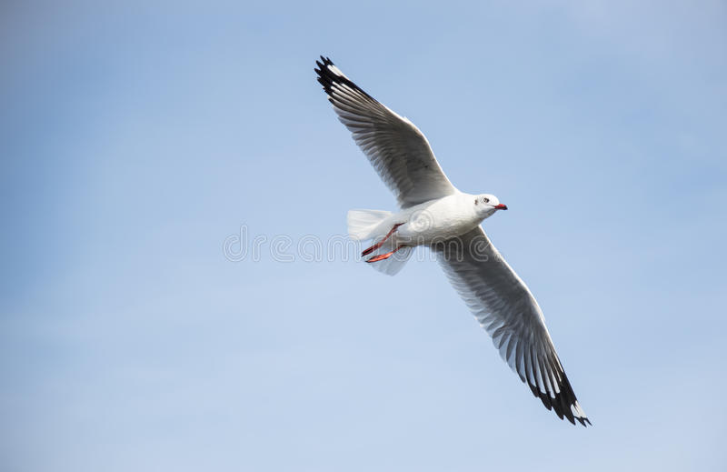 Foco selectivo de la gaviota del vuelo en el cielo azul que mira derecho imagen de archivo libre de regalías
