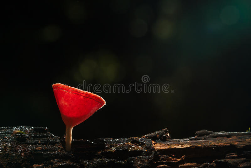 Foco selectivo de la seta fresca rosada del champán de la taza con la gotita de agua en naturaleza en bosque en fondo oscuro foto de archivo