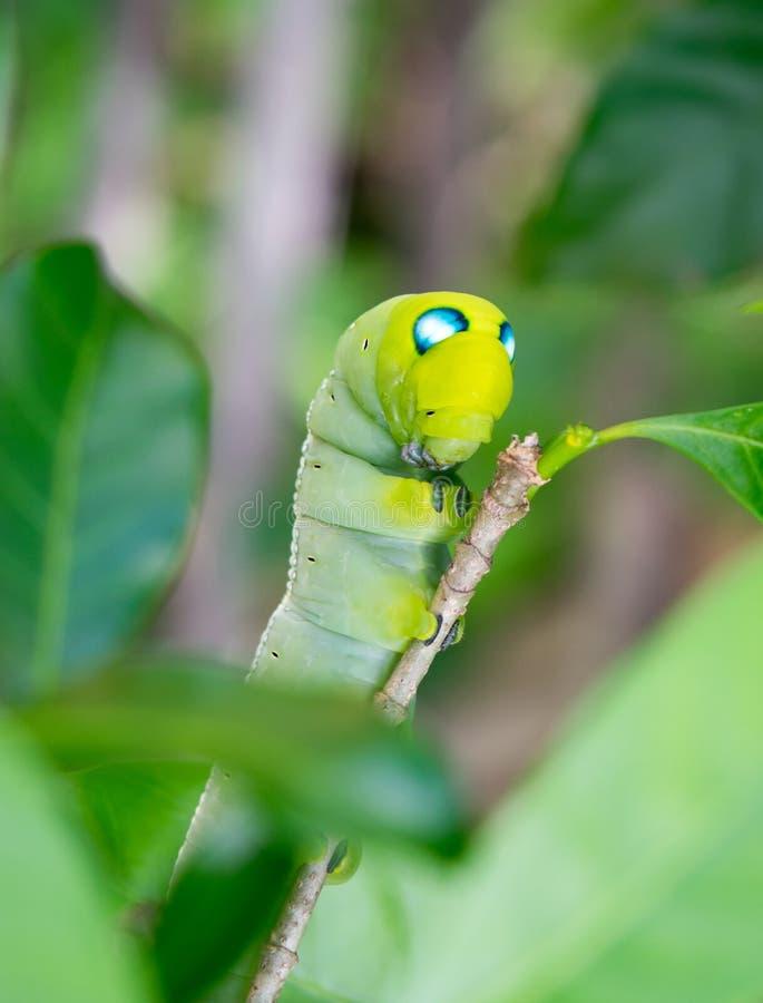 Foco selectivo del gusano verde imágenes de archivo libres de regalías