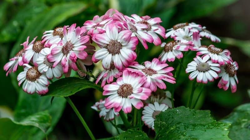 Foco selectivo del híbrido bicolor rosado y blanco del pericallis de la flor de la margarita fotos de archivo