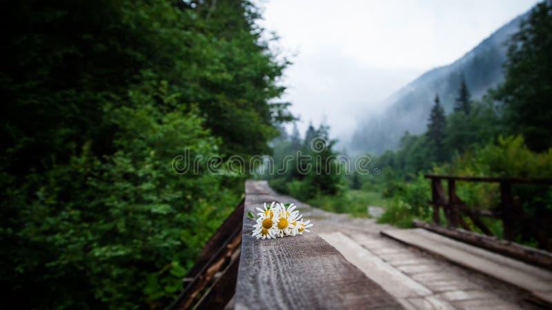 Foco selectivo en la flor de la manzanilla en el puente de madera imagenes de archivo