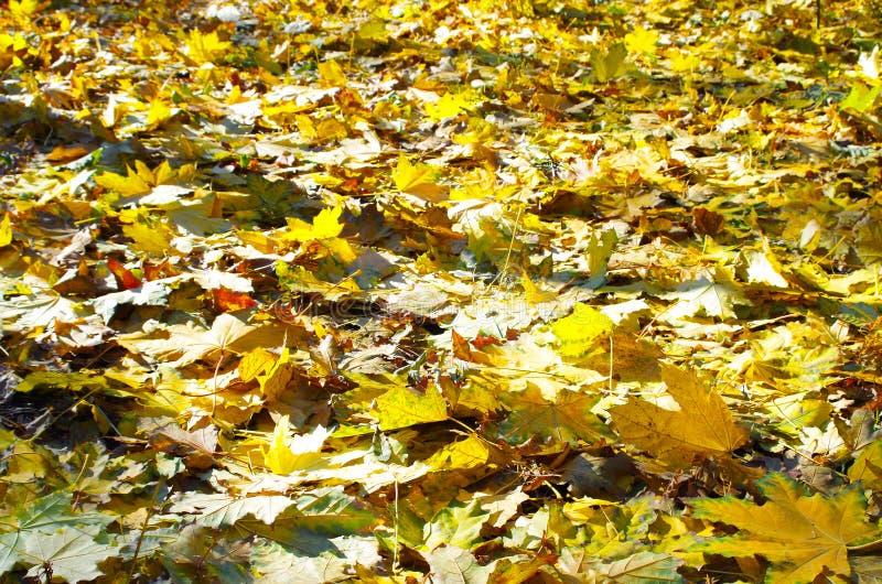 Foco selectivo en las hojas de arce caidas amarillas del otoño imagen de archivo libre de regalías
