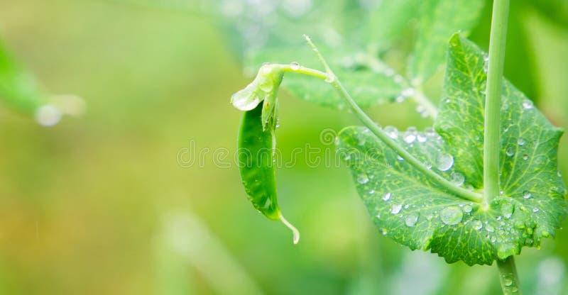 Foco selectivo en las vainas de guisante verdes claras frescas en las plantas de un guisante en un jardín Guisantes crecientes al imágenes de archivo libres de regalías