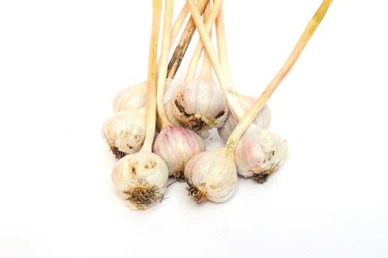 Foco selectivo en nueva cosecha del ajo orgánico (alium sativum) fotografía de archivo
