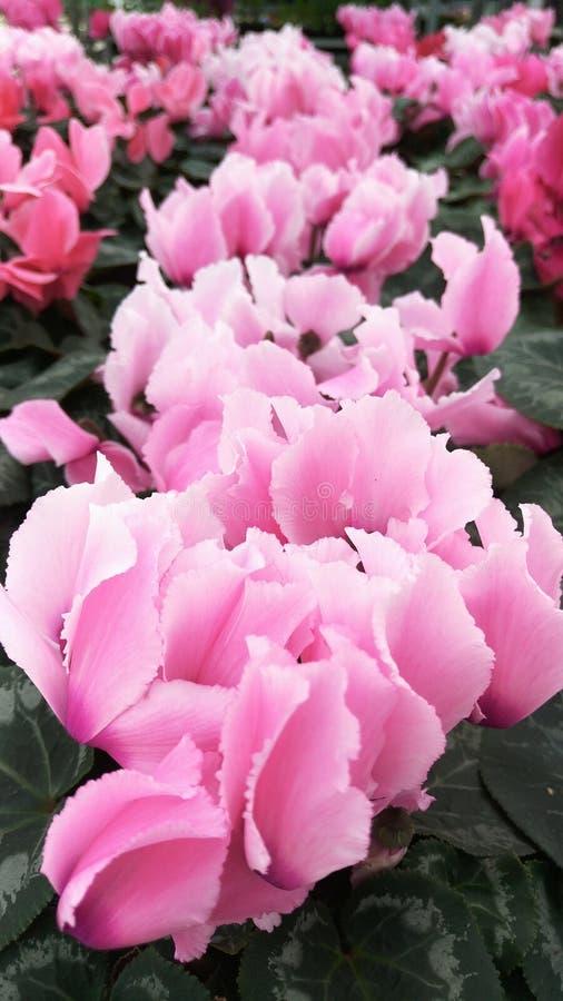 Foco selectivo, fondo borroso, flores enormes del ciclamen de diversas sombras del rosa imagen de archivo libre de regalías