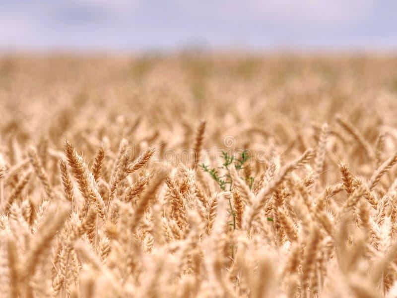 Foco selectivo onweed en el campo de trigo, grano de oro del trigo imagen de archivo libre de regalías